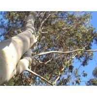 Eucalyptus Feuilles.