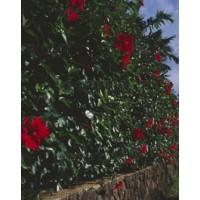 Hibiscus Fleurs