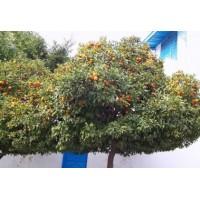 Oranger Bouton